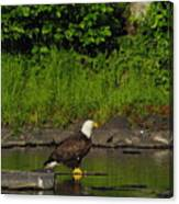 Eagle On A River Rock Canvas Print