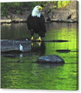 Eagle On River Rock IIi Canvas Print