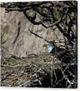 Eagle On The Nest, No. 3 Canvas Print