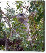Eagle Owl Chick Canvas Print