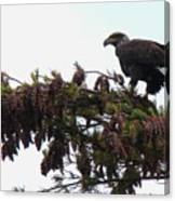 Eaglet In Pines Canvas Print
