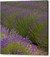 Early Morning Lavender Canvas Print