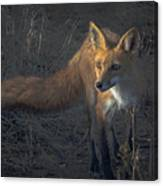 Early Morning Red Fox Prowl Canvas Print