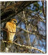 Early Morning Still Hunting  Coopers Hawk Art Canvas Print