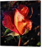 Early Rose Canvas Print