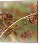 Early Summer Hummer Canvas Print