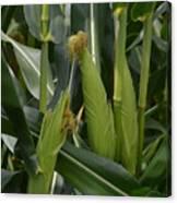 Ears Of Corn Canvas Print