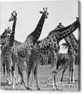 East Africa: Giraffe Canvas Print