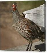 East African Spurfowl Canvas Print
