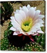 Easter Lily Cactus Canvas Print