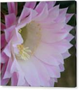 Easter Lily Cactus East 2 Canvas Print