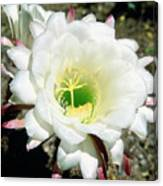 Easter Lily Cactus Flower Canvas Print
