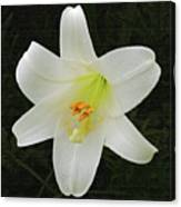 Easter Lily With Black Background Canvas Print