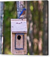 Eastern Bluebird Perched On Birdhouse 3 Canvas Print