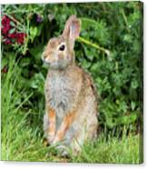 Eastern Cottontail Canvas Print