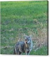 Eastern Coyote In Grass Canvas Print