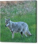 Eastern Coyote In Meadow   Canvas Print