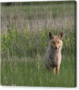 Eastern Coyote Canvas Print