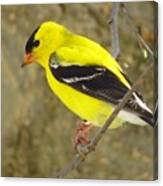 Eastern Goldfinch Canvas Print