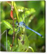 Eastern Pondhawk Dragonfly Canvas Print
