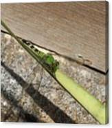 Eastern Pondhawk On A Leaf Canvas Print
