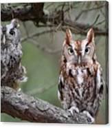 Eastern Screech Owls 424 Canvas Print