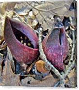 Eastern Skunk Cabbage Spathes - Symplocarpus Foetidus Canvas Print