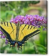 Eastern Swallowtail Canvas Print