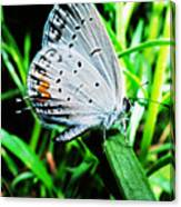 Eastern Tailed Blue Butterfly Canvas Print