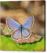Eastern Tailed Blue Canvas Print