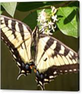 Eastern Tiger Swallowtail  Butterfly Wingspan Canvas Print