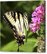Eastern Triger Swallowtail Canvas Print