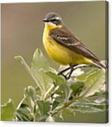 Eastern Yellow Wagtail Canvas Print