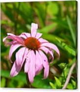 Echinacea 16-02 Canvas Print