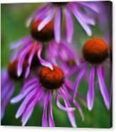 Echinacea Crowd Canvas Print
