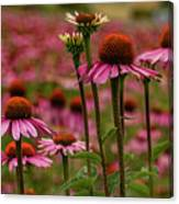 Echinacea Front And Center Canvas Print