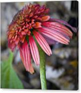 Echinacea Hot Papaya Canvas Print
