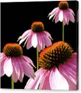 Echinacea In Half  Canvas Print