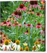 Echinacea Multi Mix Canvas Print
