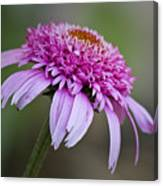 Echinacea Pink Double Delight Canvas Print