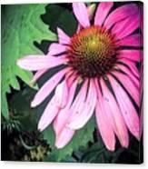 Echinacia Flower In The Rain Canvas Print