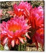 Echinopsis Flowers In Bloom II Canvas Print