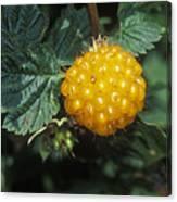 Edible Yellow Salmonberry Rubus Canvas Print