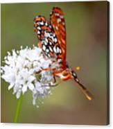 Edith's Checkerspot Five Canvas Print