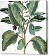 Eggplant, 1735 Canvas Print