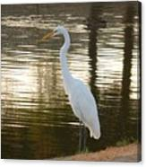 Egret At Waters Edge Canvas Print