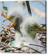 Egret Chicks In Nest With Egg Canvas Print
