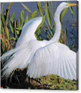 Egret Display Canvas Print
