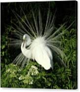 Egret Fan Dancer Canvas Print