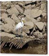 Egret Fishing Canvas Print
